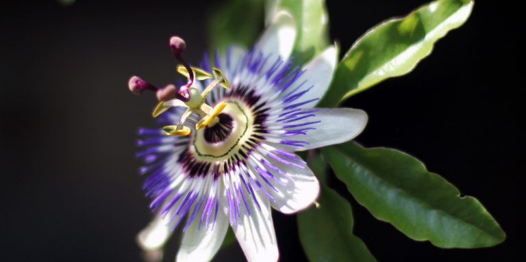 Passionflower Eases Anxiety And Panic